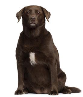 Übergewicht beim Hund BARF